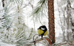 forest, winter, snow, frost, titmouse