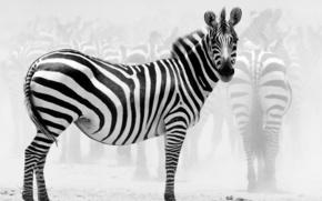 зебра, стадо