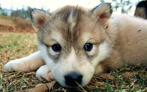 chiot, chien, nez