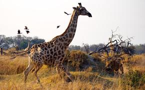 Giraffe, leonessa, Uccelli