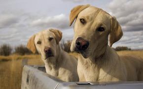 Psy, Psy, Labradory, blinita, kufer, niebo, chmury