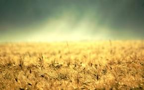 десктоп, желтая трава, золото, земля, колосс