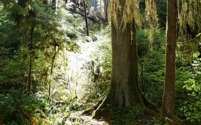 густой, лес, стволы, свет, лучи