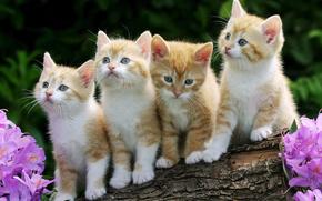 котята, малыши, рыжие, пушистые