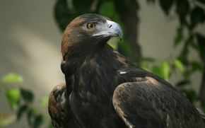 eagle, view, beak