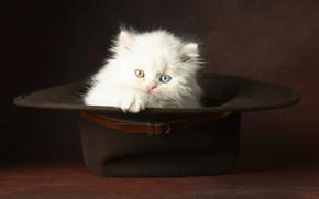 котенок, белый, пушистый, шляпа, глаза