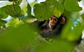 animale, maimu, cimpanzeu