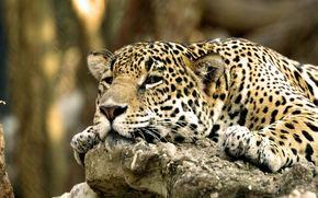 leopardo, grugno