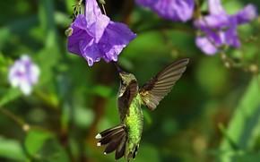 колибри, цветок, полет, крылья, птица