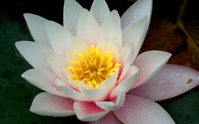 giglio, fiore, Macro, bellezza