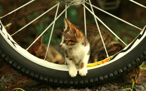 kitten, wheel, view, spokes