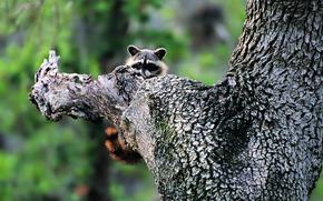 Animales, mapache, rbol, Naturaleza, verdes.