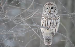 сова, зима, осень, ветви, дерево, серый