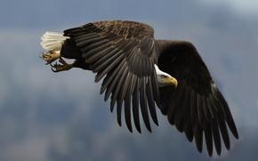 орел, крыло, взгляд