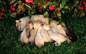 кошка, котята, кормящая кошка