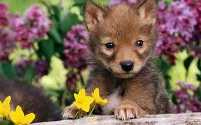 chiot, loup, volchenok, chien