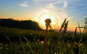 одуванчик, солнце, трава