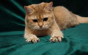 кот, грозно, когти, лапы