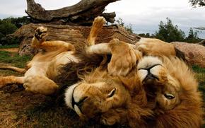 Lions, savana, pigro