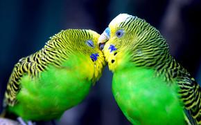 love, нежность, Parrots, kiss, чувства