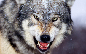 loup, sourire, canines, hiver