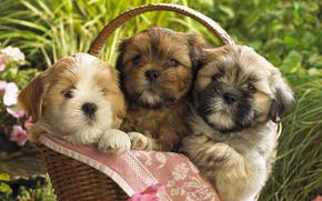 щенки, корзинка, малыши, собаки