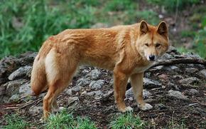 dingo, nature, predator, dog