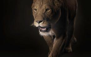 leonessa, predatore, nero