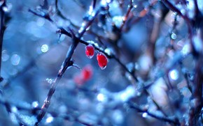 drops, Berries, branches