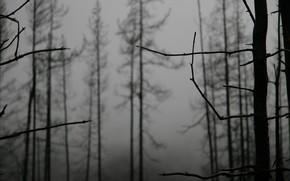 ветки, деревья, туман