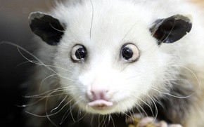 opossum, occhi, lingua