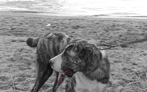 Asie centrale, chien, Chiens