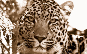 wild cats, Leopards, snout, snout, close-up photo, Wallpaper, Predators