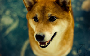 собака, шиба ину, глаза