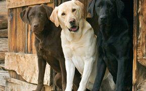 trio, Cani, labrador
