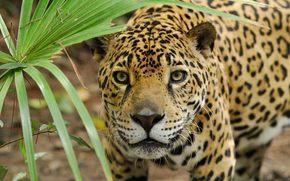 leopard, cat, cat