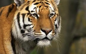 тигр, хищик, зверь