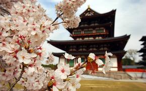 сакура, цветы, лепестки, ветви, япония, пагода, дом, природа