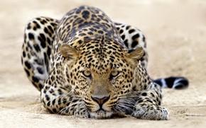 atacar, Gatos, tigre, leopardo