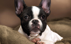 собака, пёс, пёсик, щенок, малыш, порода, французский бульдог, окрас, пятна, контраст, белый, черный, морда, нос, глаза, уши, лапы, подушечки, пяточки