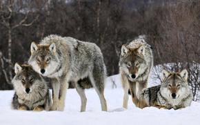 Loups, hiver, neige, voir, prdateur, troupeau, Bte