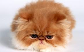 gattino, rosso, Persiano, piccolo