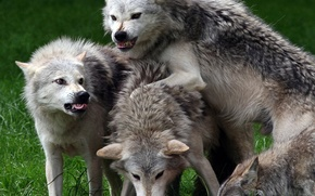 wild animals, Wolves, rage