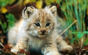 kitten, lynx