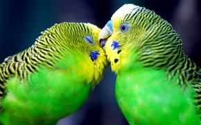 Parrots, love