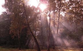 arbres, Bouleau, fort, Nature