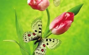 цветы, тюльпан, бабочка, зеленый