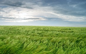 Carta da parati, erba, verdura, vento
