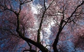 树, 天空, 花卉, 紫色