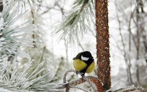 titmouse, bird, winter, branch, frost